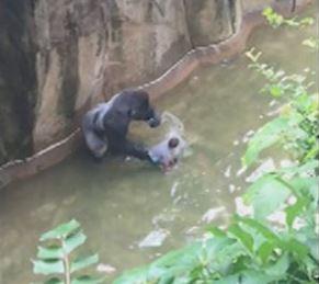 cincinnati-zoo-gorilla